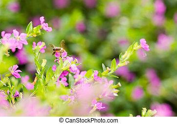 hyssopifolia, ou, cuphea, faux, bruyère, rose, mexicain