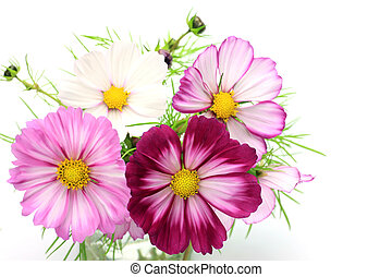 cosmos - I arranged a cosmos and took it in a white ...