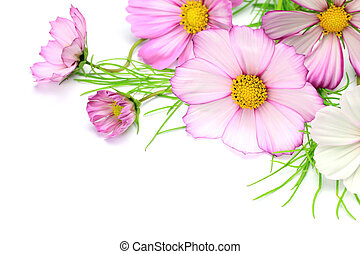 cosmos - I arranged a cosmos and took it in a white...