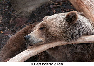 I bear resting