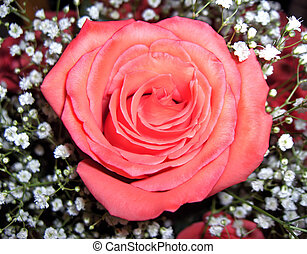 I Speak Volumes - The beauty of a rose can speak volumes