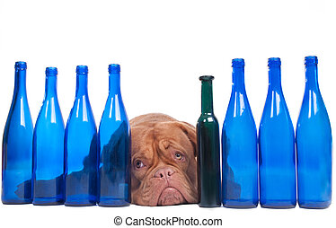 Dogue de boedeaux lying between empty wine bottles