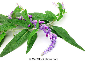 I took amethyst sage in a white background.