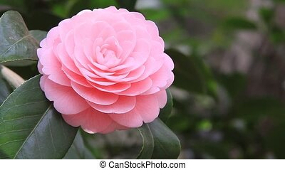 camellia - I took the state that a pink camellia shook for...