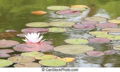 water lily shook in a pond - I took the state that a water...