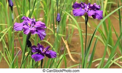 various irises - I took various irises.