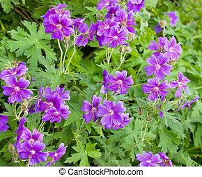 Iberian Geranium - ibericum geranium blooming at the...