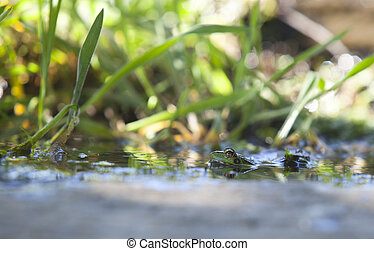 Iberian green frog, half-sunked at litle mountain stream. Acena de la Borrega, Caceres, Extremadura, Spain