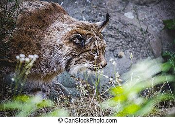 Iberian lynx chasing a bird, hunter