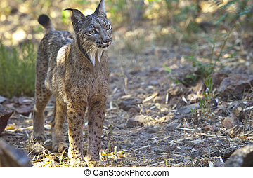 Iberian lynx on alert - Iberian lynx or Lynx pardinus at...