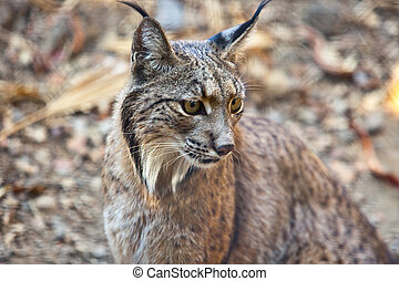 Iberian lynx portrait - Iberian lynx or Lynx pardinus at...