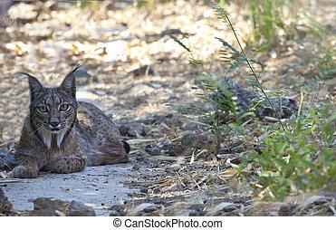 Iberian lynx resting - Iberian lynx or Lynx pardinus at wild...