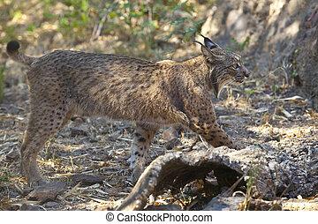 Iberian lynx side view - Iberian lynx or Lynx pardinus at...