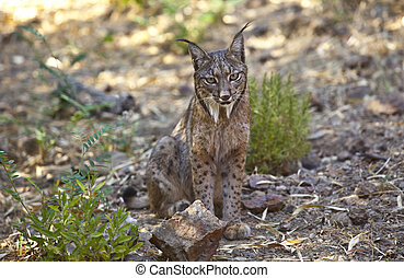 Iberian lynx sitting on alert - Iberian lynx or Lynx...