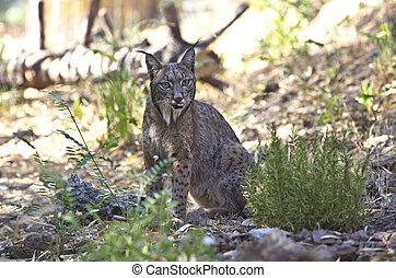 Iberian lynx with tonge out - Iberian lynx or Lynx pardinus...