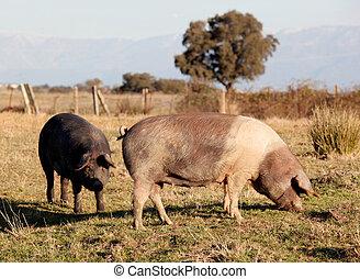 Iberian pig in the field of Spain.