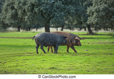 Iberian Pigs - Black Iberian pigs on a meadow. Extremadura,...