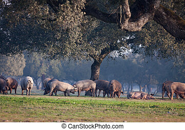Iberian pigs grazing in the landscape