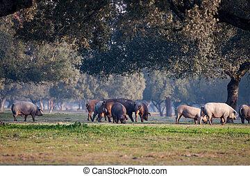 Iberian pigs grazing in the landscape - Iberian pigs grazing...
