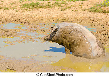 Iberian pigs herd (pata negra) sitting in the mud, Extremadura, Spain