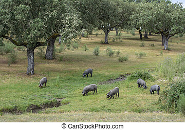 Iberian pigs in the spanish countryside. - Iberian pigs...