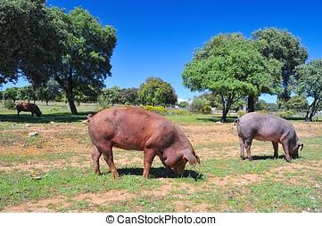 Iberian pork.