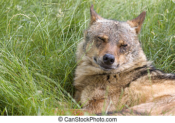 Iberian wolf eyes closed