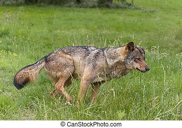 Iberian wolf flagging
