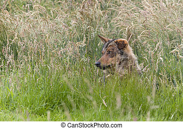Iberian wolf hidden in high grasses