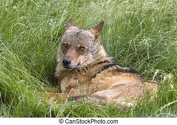 Iberian wolf in grass - Iberian wolf as found in Spain and...