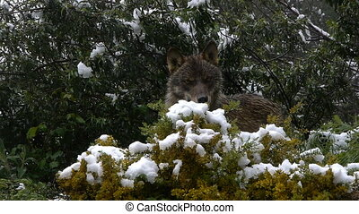 Iberian wolf in the snowy mountains of southern Spain