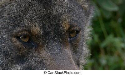 Iberian wolf look deep - Iberian wolf deep look at a closeup...