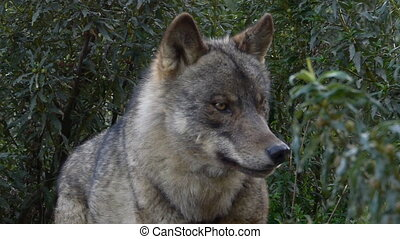 Iberian wolf look deep into the bushes of Mediterranean...