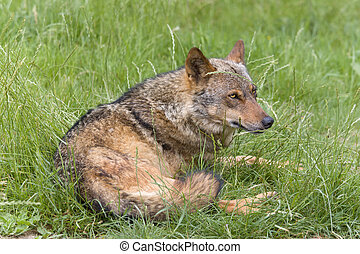 Iberian wolf lying hidden