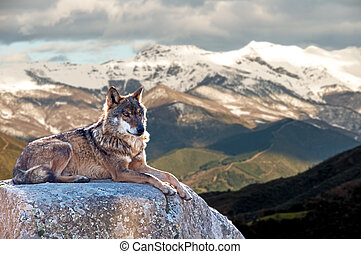 Iberian wolf lying on rocks on a snowy mountain watching...