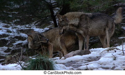 Iberian wolf mating season on the white snow