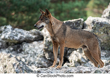 Iberian wolf on the top of the rock - Iberian wolf (Canis...