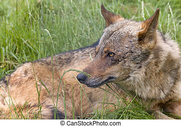 Iberian wolf resting - Iberian wolf as found in Spain and...