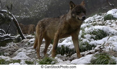 Iberian wolf sniffing the air that brings a lot of...