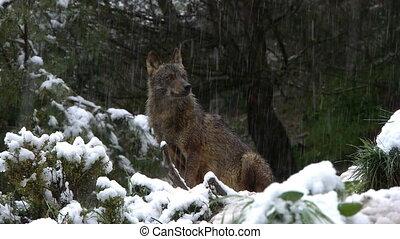 Iberian wolf snowing - Iberian wolf enjoying the snow...
