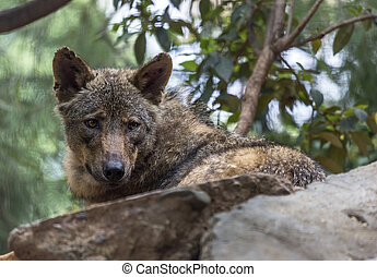 Iberian Wolf - The wolf Canis lupus is a member of the...