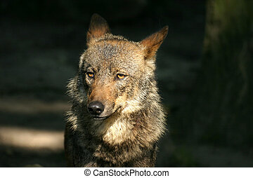 Iberian Wolf - Tired wolf in a zoo