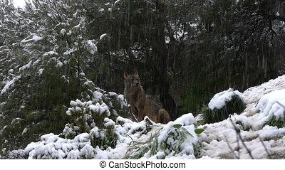 Iberian wolf under the big snow - Iberian wolf under the...
