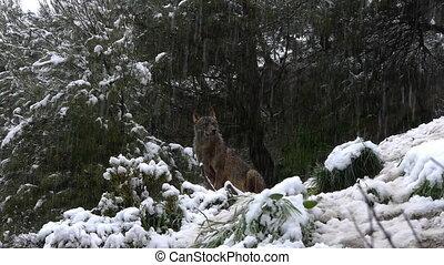 Iberian wolf under the big snow - Iberian wolf under the...