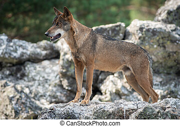 Iberian wolf watching from the top of the rock - Iberian...
