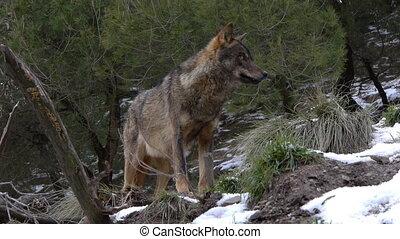 Iberian wolf watching their snowy surroundings.