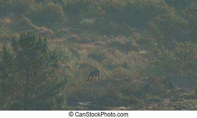 iberyjka, szczeniaki, mamusia, dziki, wilk