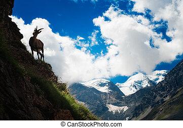 ibex, a, altitudine alta