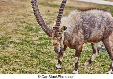 ibex, em, mitzpe, ramon, israel