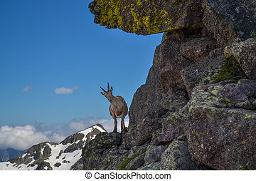 ibex in the mountain